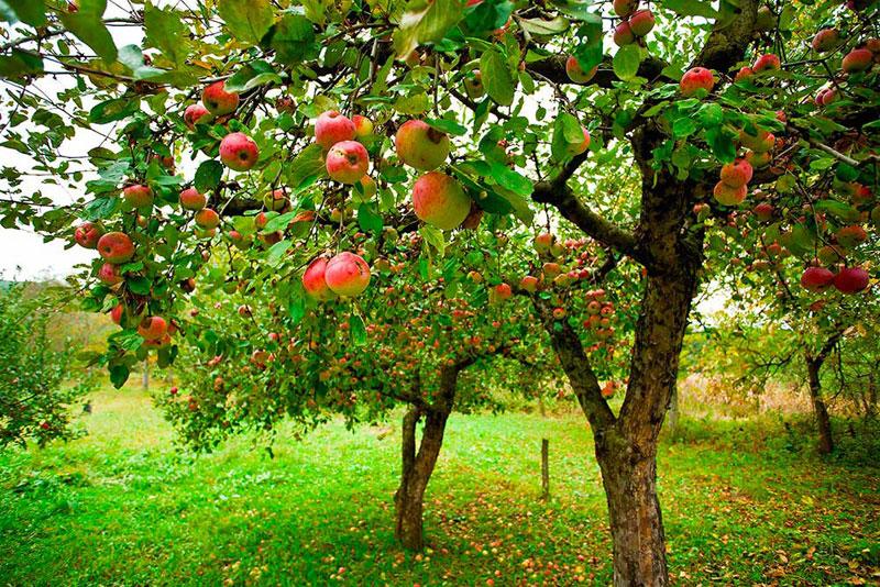 Pin piante da frutta nane pera mela pesca etc on pinterest for Piante da frutto nane