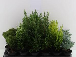 Le piante sempreverdi